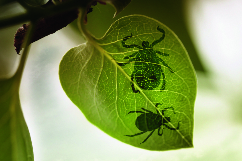 Ticks on a leaf